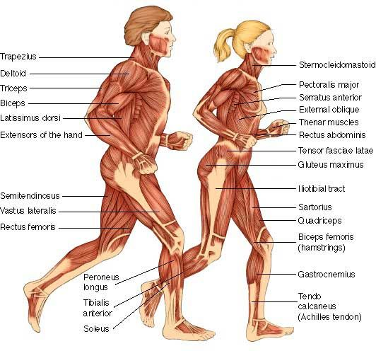 Difference between man and woman body