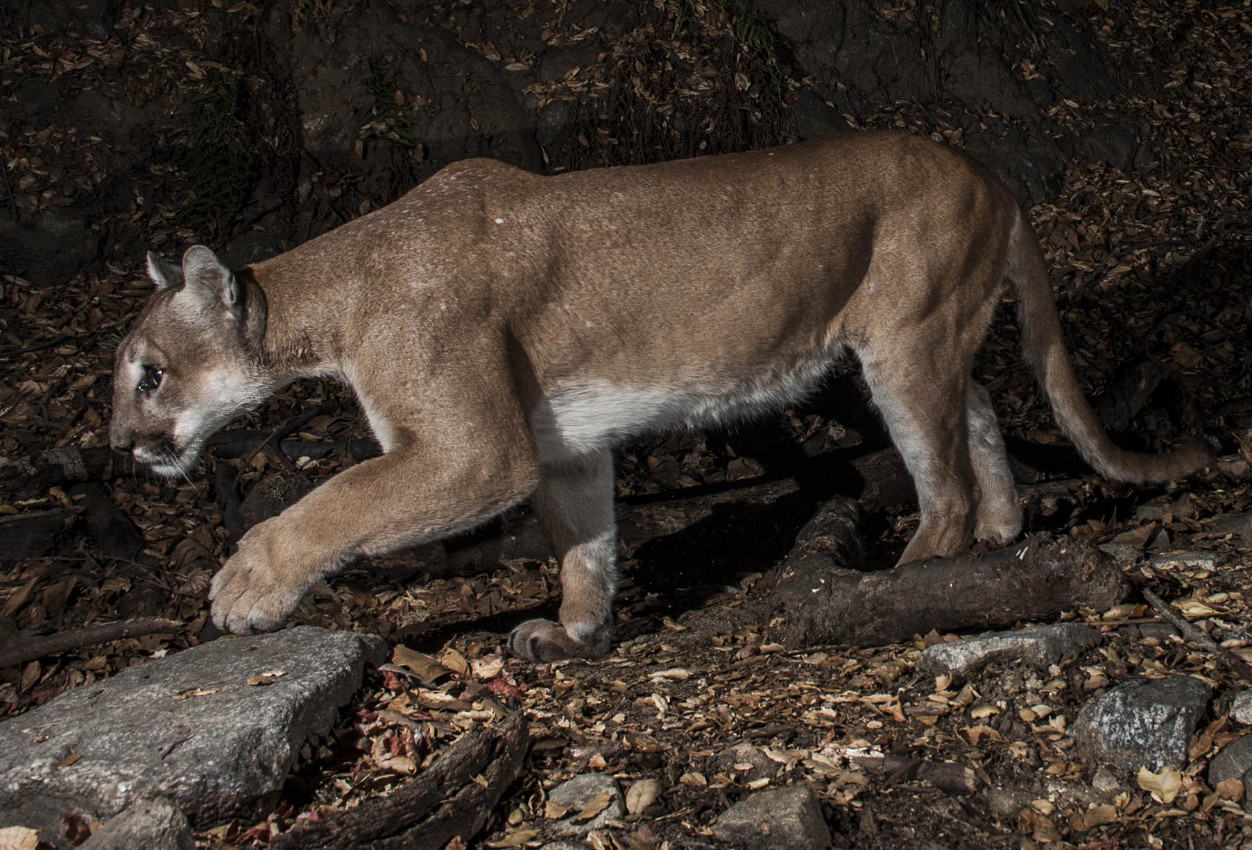Cougars in my area